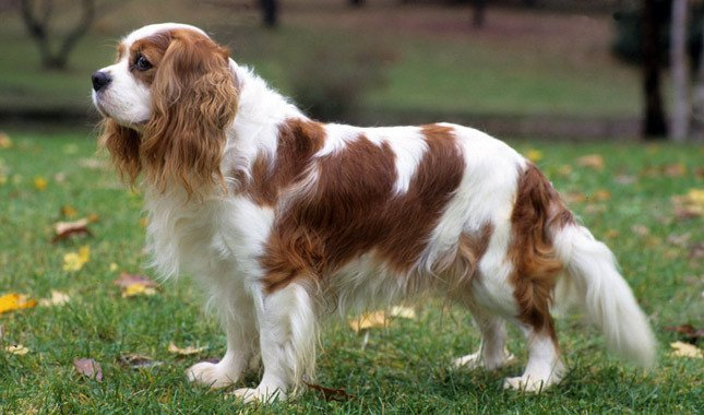 Cavalier king charles spaniel biscuits bath cavalier king charles spaniel altavistaventures Image collections