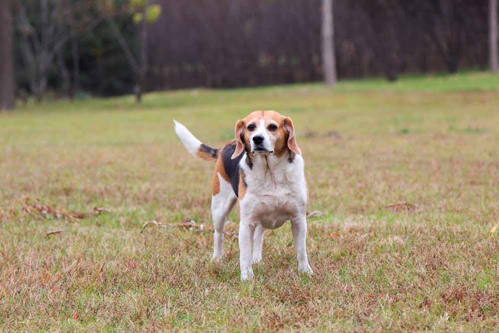 53964714 - the purebred beagles dog portrait in outdoors