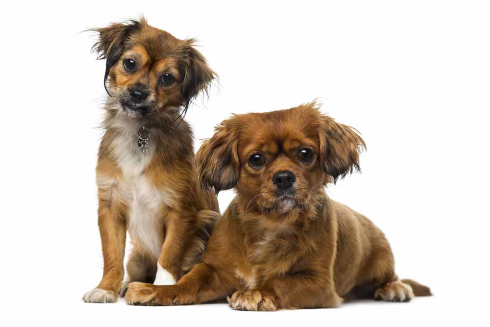 36239285 - two cavalier king charles spaniels