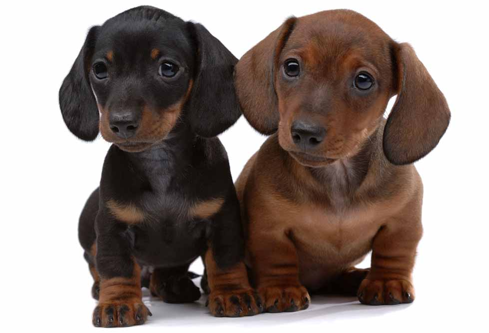 10437193 - pair of smooth-haired dachshunds isolated on white