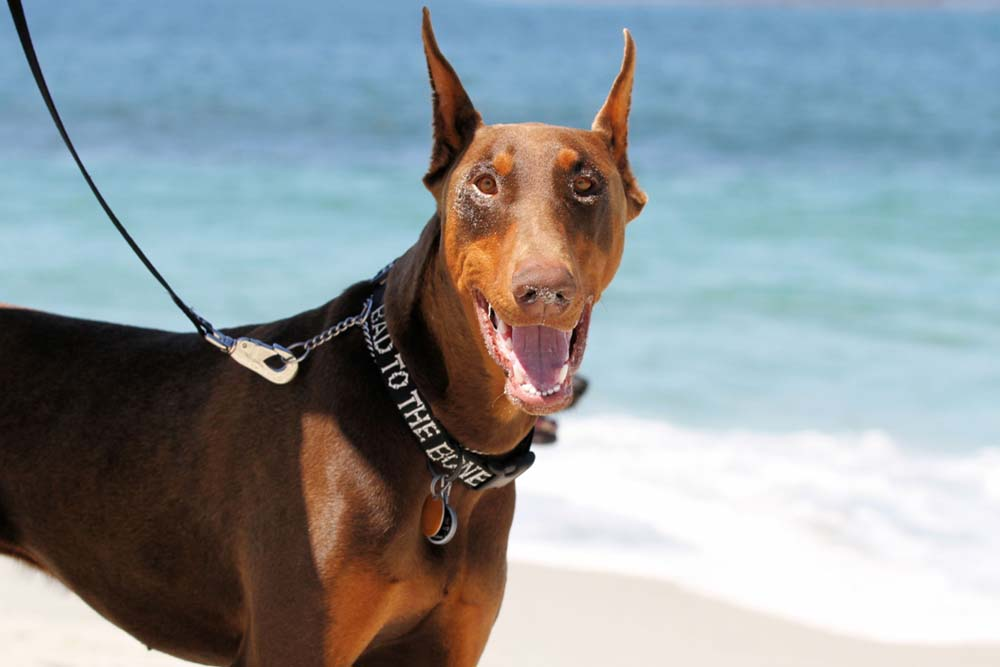 10983175 - red doberman with sand around his eyes after playing on carmel beach
