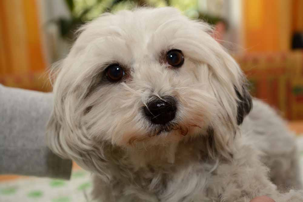 44346411 - white havanese look innocently - close-up