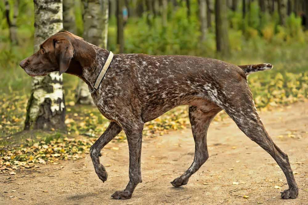 15478693 - deutsch kurzhaar german short-haired pointing dog