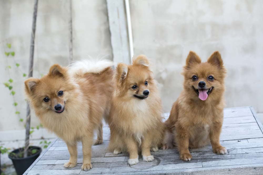59151874 - group of brown pomeranians sitting on wood table