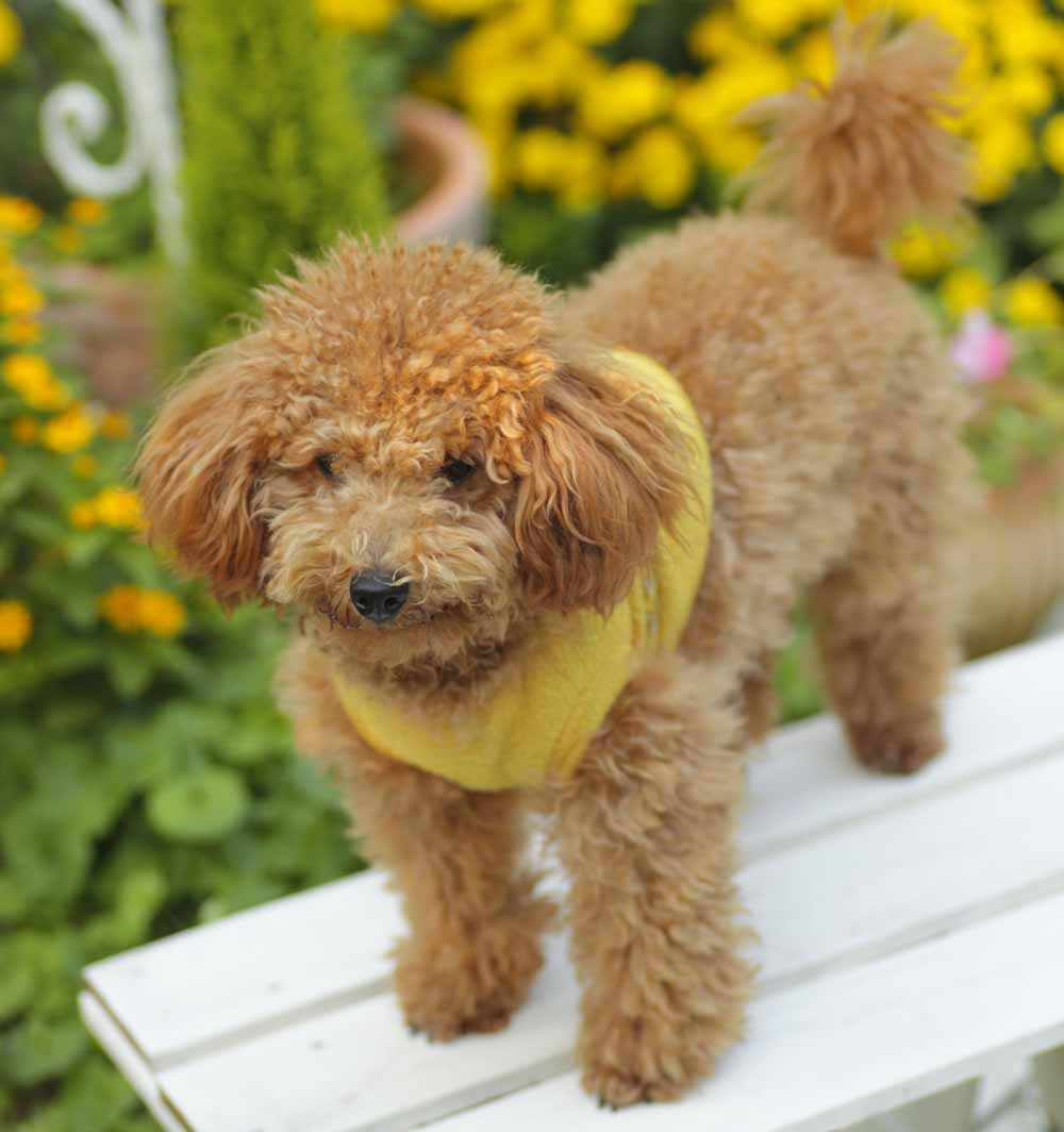 42783775 - toy poodle's background is yellow flowers for your garden