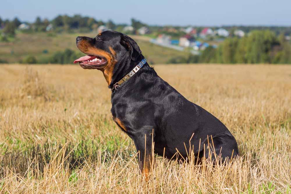 45461306 - rottweiler dog on natural background grass field