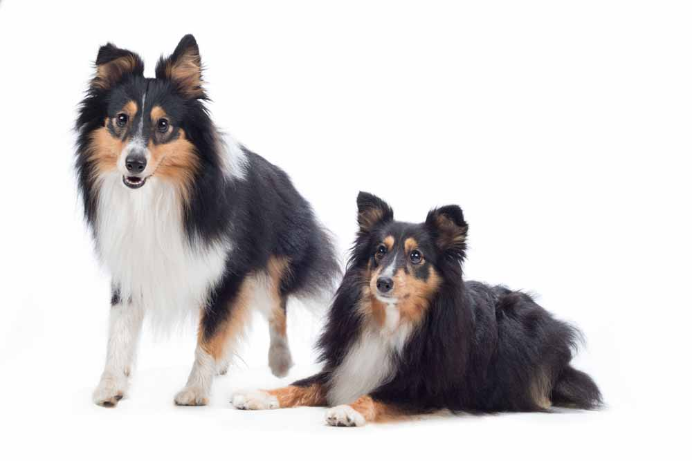 46720869 - two shetland sheepdogs, isolated on white studio background