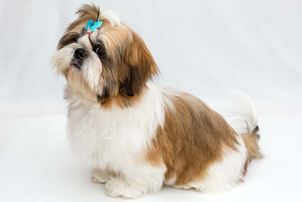 37237327 - shaggy puppy shih tzu sits on a white background