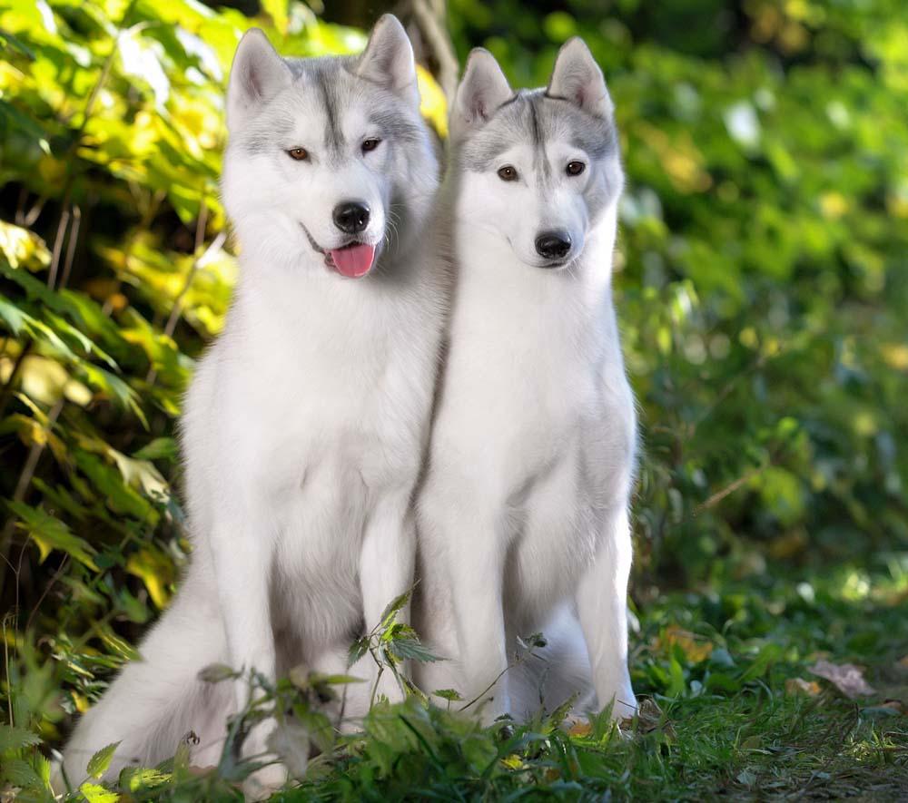 46400720 - two siberian huskies dog in autumn park