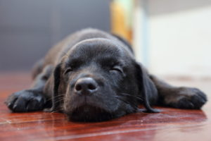 39634278 - sleeping black labrador retriever puppy